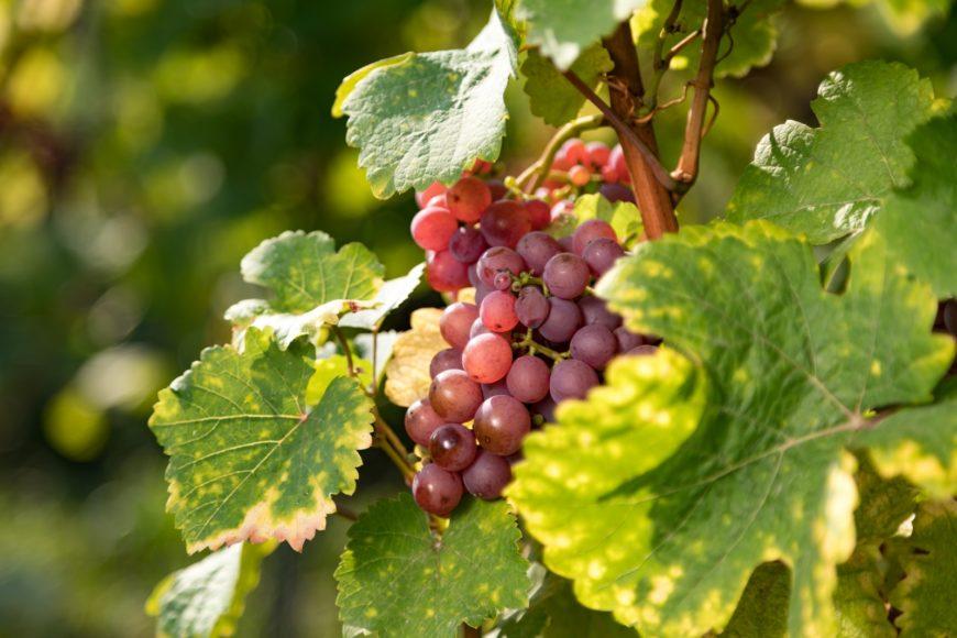 Sécheresse été 2020 : reconnaissance de calamités agricoles pour perte de fonds sur vigne