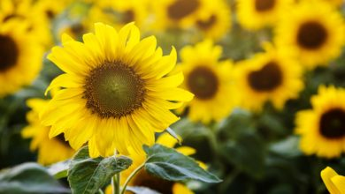 Atelier de décoration florale : les tournesols